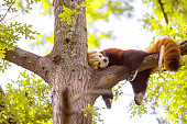 Lesser panda sleeping on a tree branch. Also called the red panda (Ailurus fulgens)lesser panda, the red bear-cat, and the red cat-bear, is a mammal