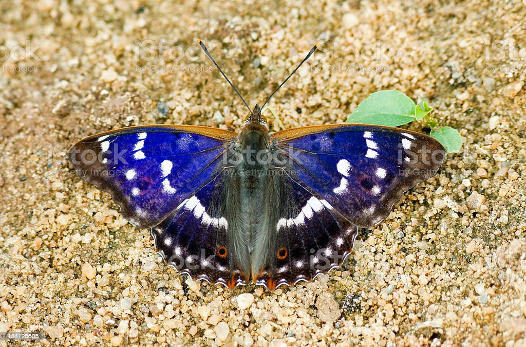 Lesser Purple Emperor (Apatura ilia) stock photo
