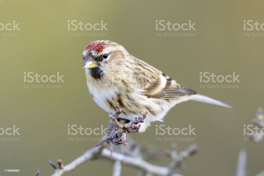 Lesser Redpoll (Carduelis cabaret) royalty-free stock photo