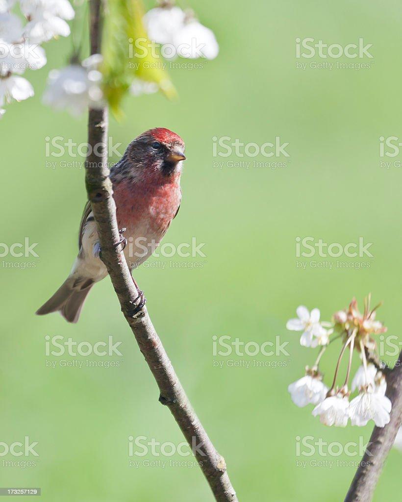 Lesser Redpoll (Carduelis cabaret) with plum blossom stock photo