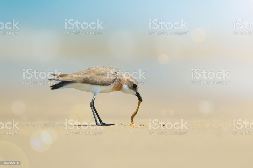 Lesser Sand Plover eating sand worm on the beach stock photo