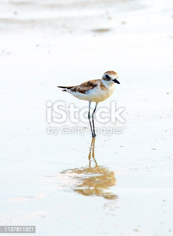 Lesser sand plovers on a beach in Thailand.