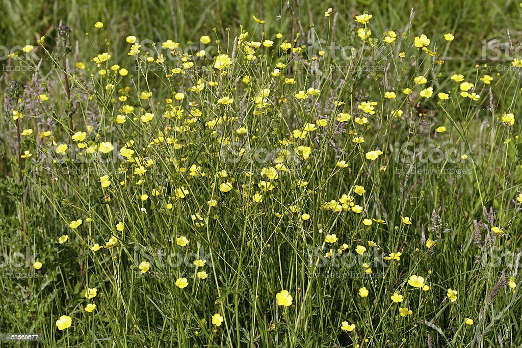 Marshland lesser spearwort Ranunculus flammula stock photo