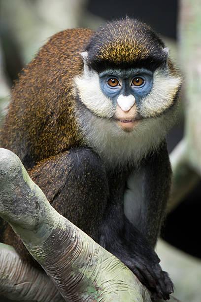 Lesser Spot-Nosed Monkey II stock photo