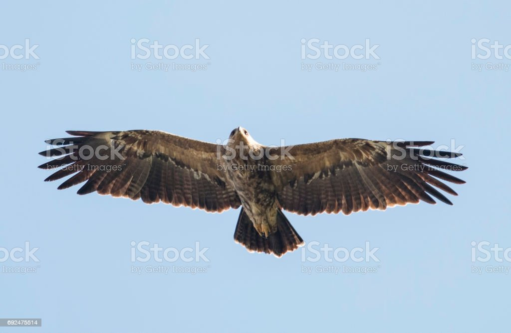 Lesser Spotted Eagle - foto stock