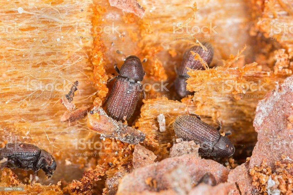 Lesser spruce shoot beetles, Hylurgops palliatus working on wood stock photo