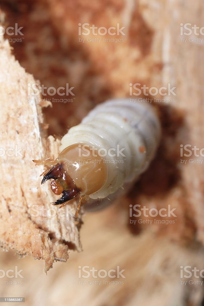 lesser stag beetle larva royalty-free stock photo