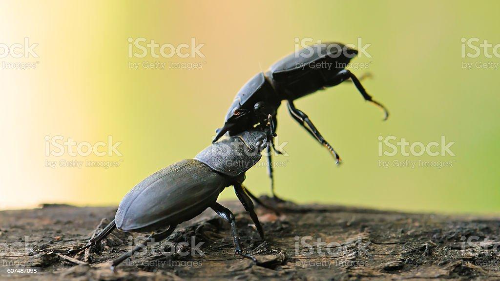 Lesser stag beetle (Dorcus parallelipipedus) stock photo