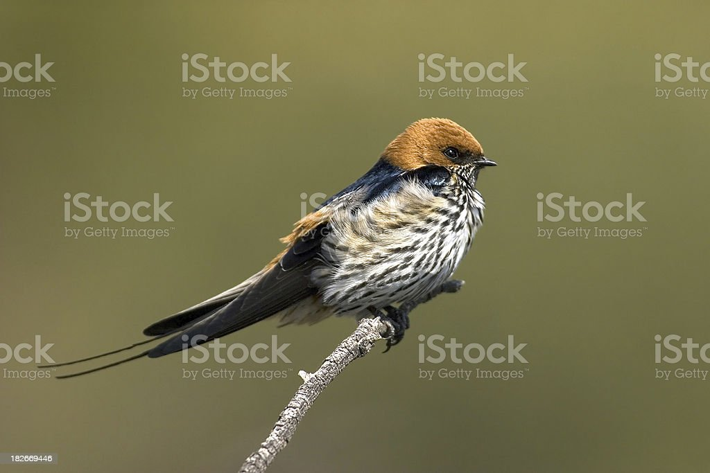 Lesser Stripped Swallow stock photo