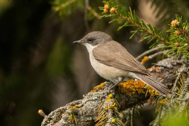 Lesser Whitethroat (Sylvia curruca). Polesie. Ukraine – Foto