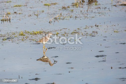 Lesser Yellowlegs Bird With Reflection On The Water