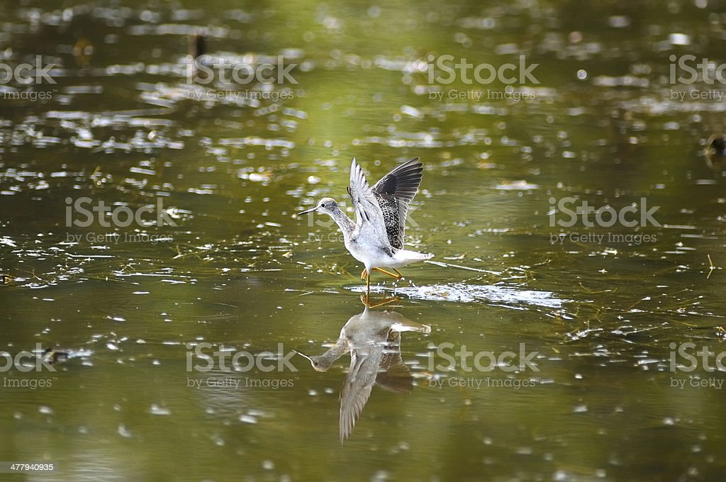 Lesser Yellowlegs Hunting royalty-free stock photo