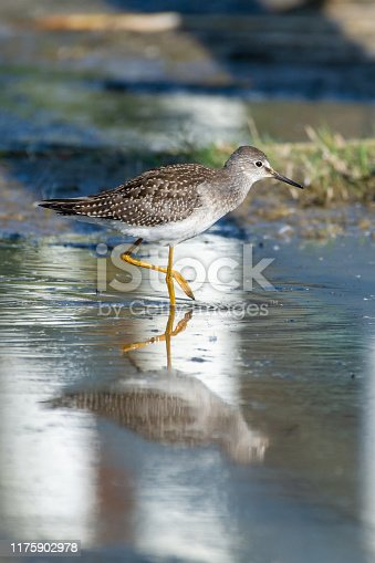 A lesser yellowlegs (Tringa flavipes) is a medium-sized shorebird standing in the water hunting for food in the morning sunshine in British Columbia, Canada.