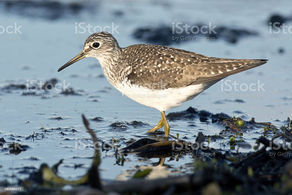 Lesser Yellowlegs royalty-free stock photo