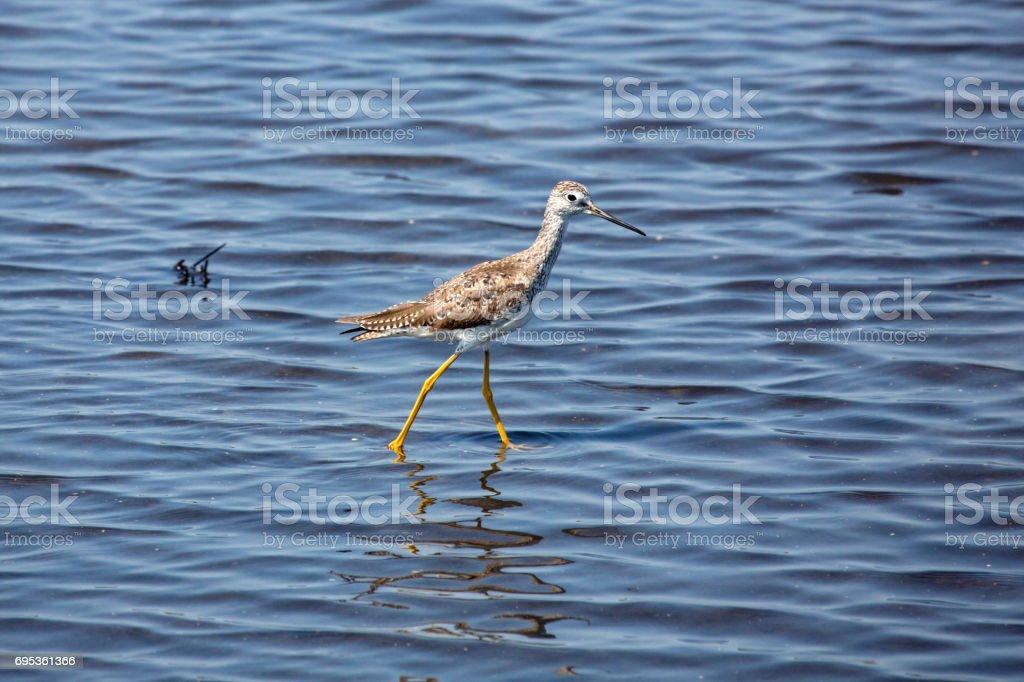Lesser yellowlegs wading in a saltwater pond, Merritt Island, Florida. stock photo