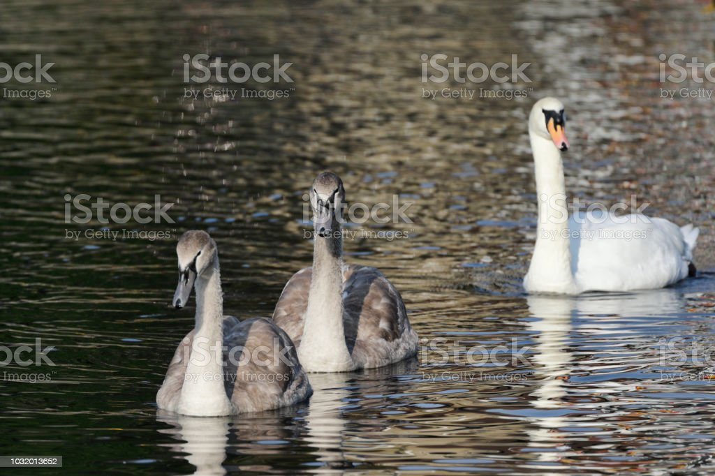 Lesson one in learning to fly mute swan cygnets Cygnus olor stock photo