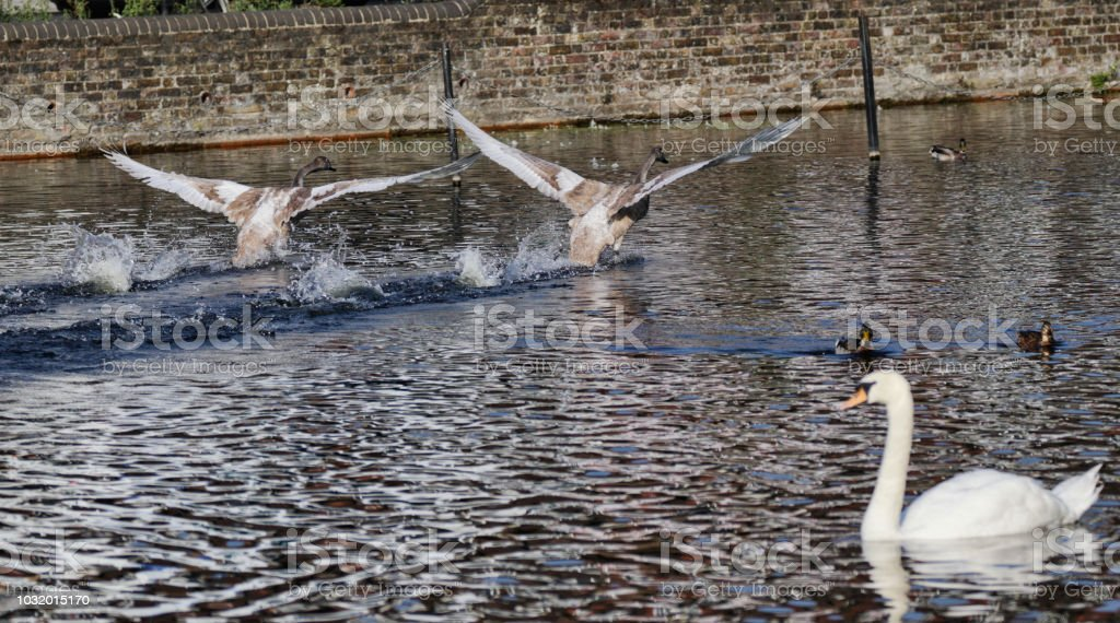 Lesson three in learning to fly mute swan cygnets Cygnus olor stock photo