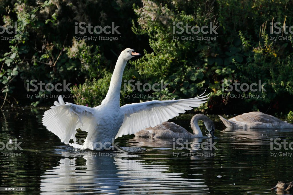 Lesson two in learning to fly mute swan cygnets Cygnus olor stock photo