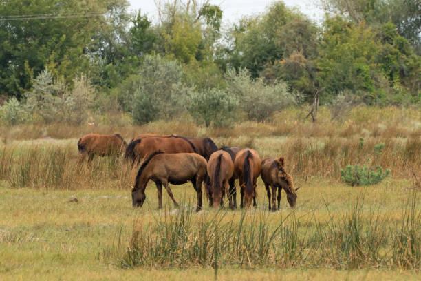 Letea Wild Horses in Danube Delta Romania stock photo