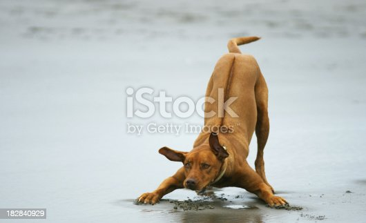 Rhodesian Ridgeback in play position at the beach. Photo has some noise.