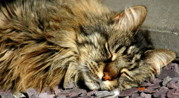 Können Katzen schlafen liegen – Foto