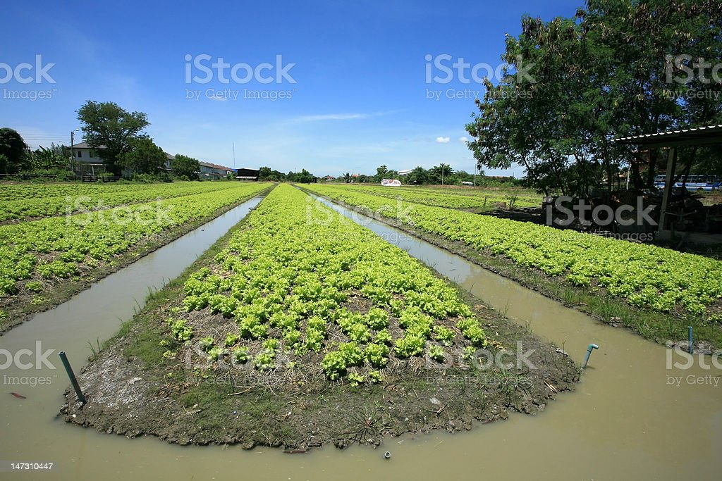 Lettuce Agriculture on Ditch Farm royalty-free stock photo