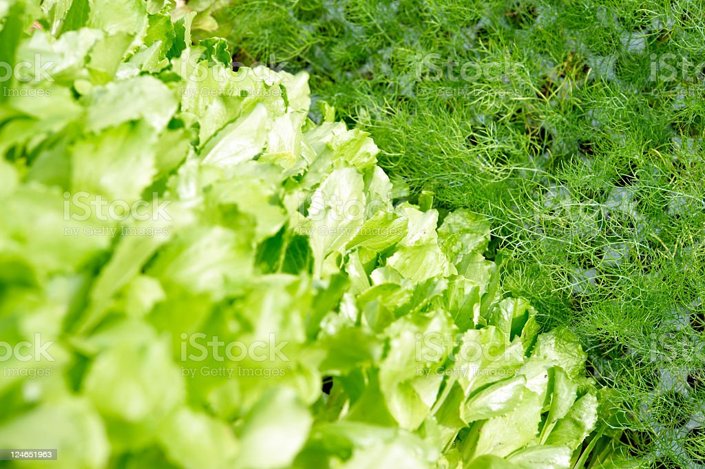 Lettuce and Fennels stock photo