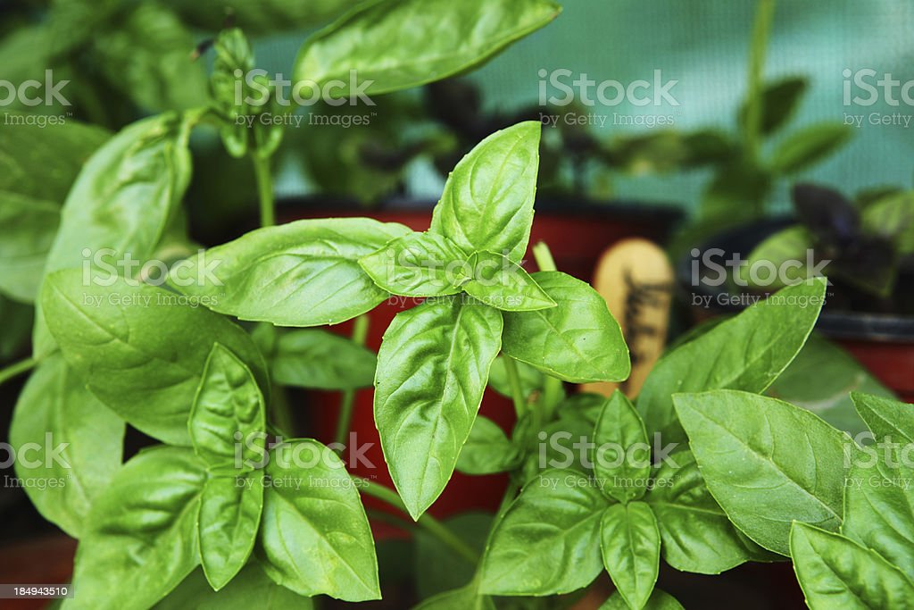 Basil growing organically in planting pots on balcony of a bungalow.