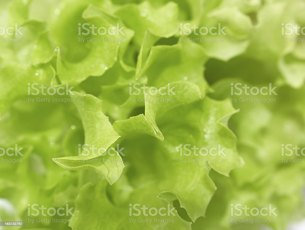 Lettuce close-up royalty-free stock photo