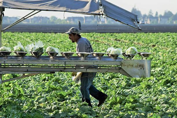 Lettuce Crop Harvest stock photo