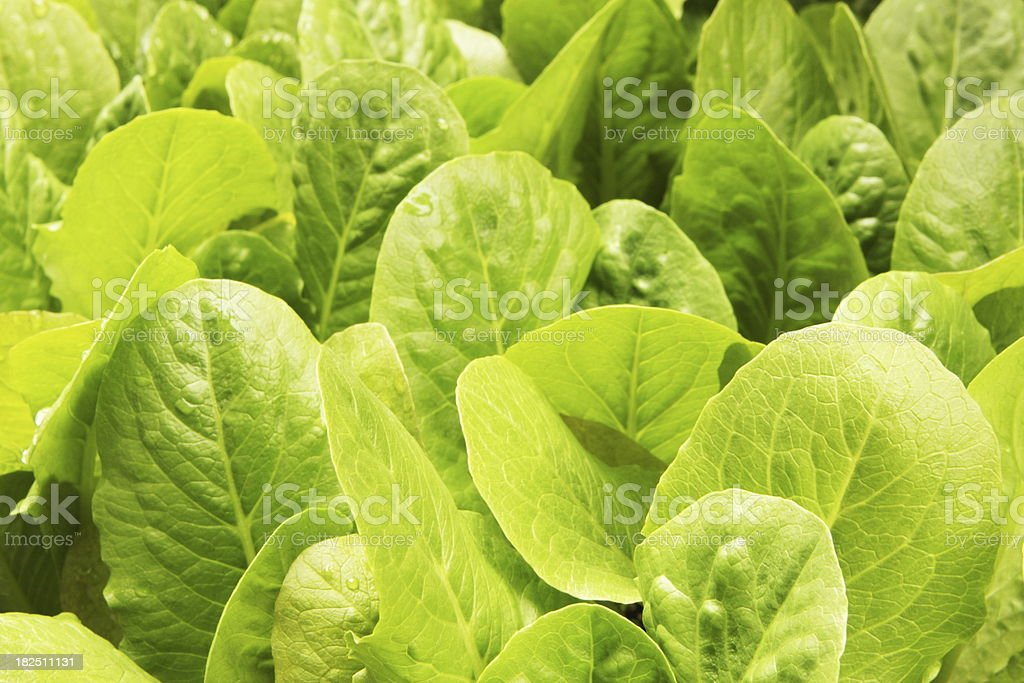Lettuce Crop Lactuca Leaf Vegetable stock photo