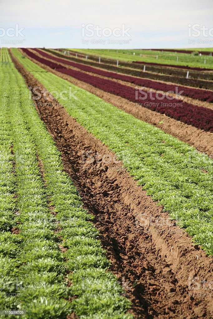 Lettuce crop royalty-free stock photo