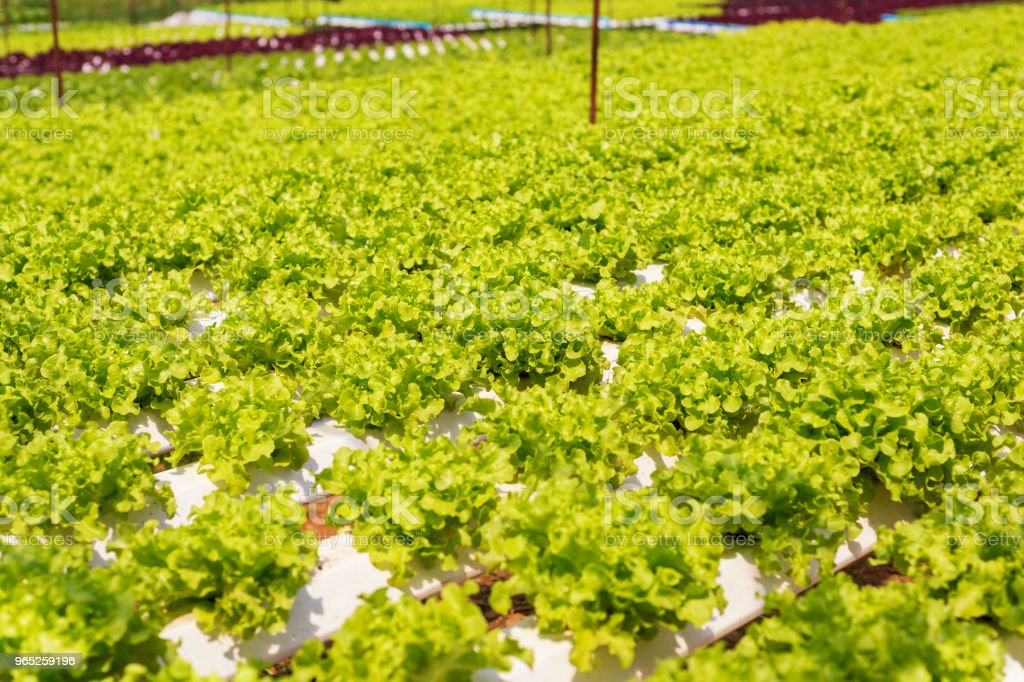 Lettuce crops in hydroponic greenhouse royalty-free stock photo