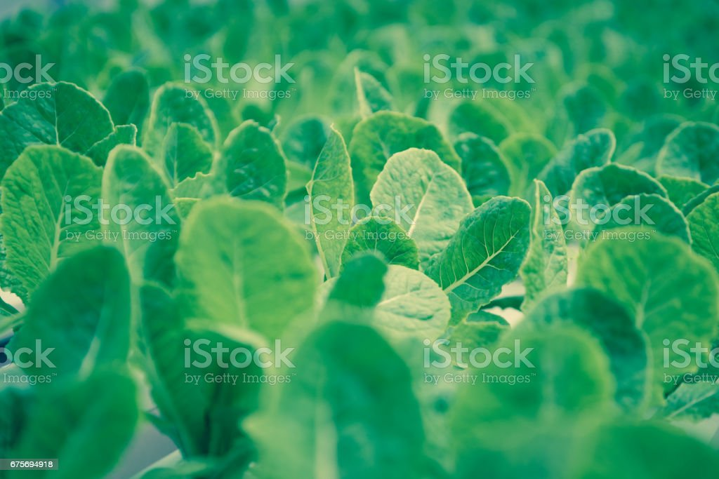 Lettuce farm with leaves for background texture soft focus. royalty-free stock photo