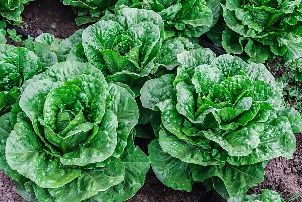 Lettuce Field stock photo