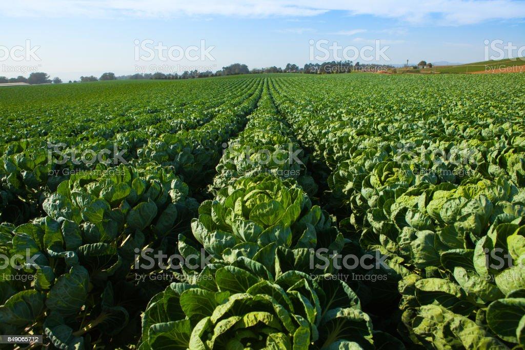 Lettuce field - foto stock