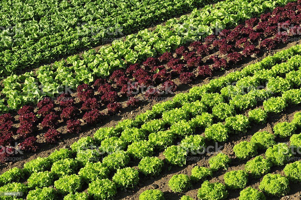 Lettuce field royalty-free stock photo