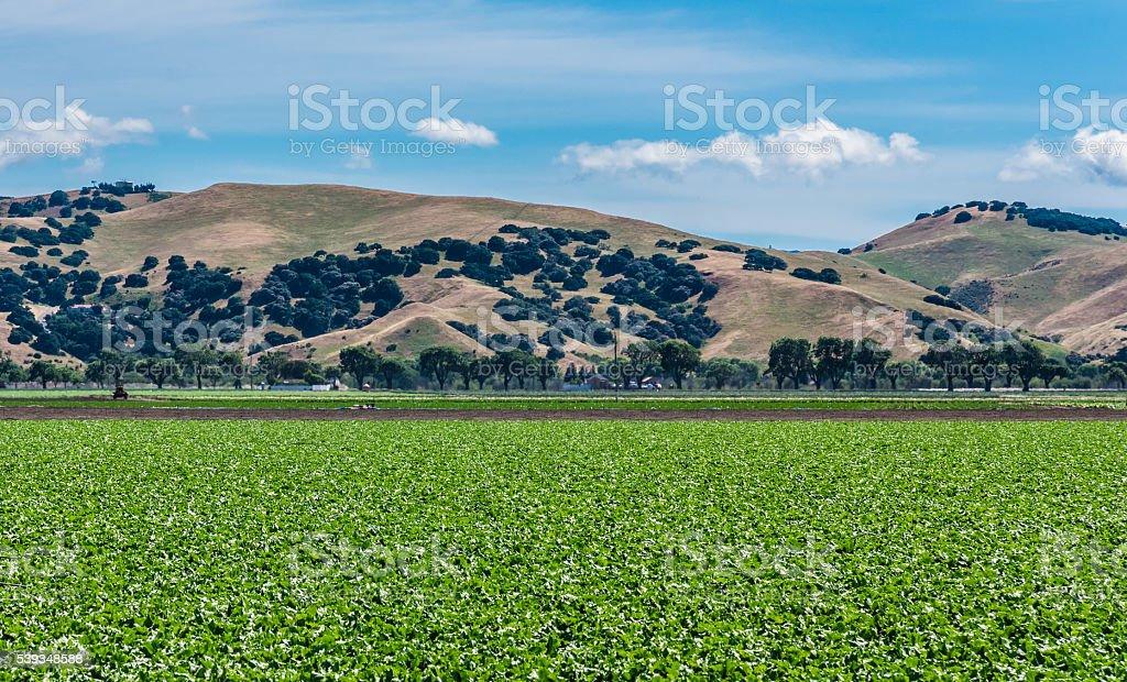Lettuce Field with Foothills stock photo