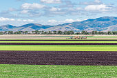 Colorful alternating rows of green and purple lettuce are harvested in the Salinas Valley of central California, with the Gabilan Mountains in the background.