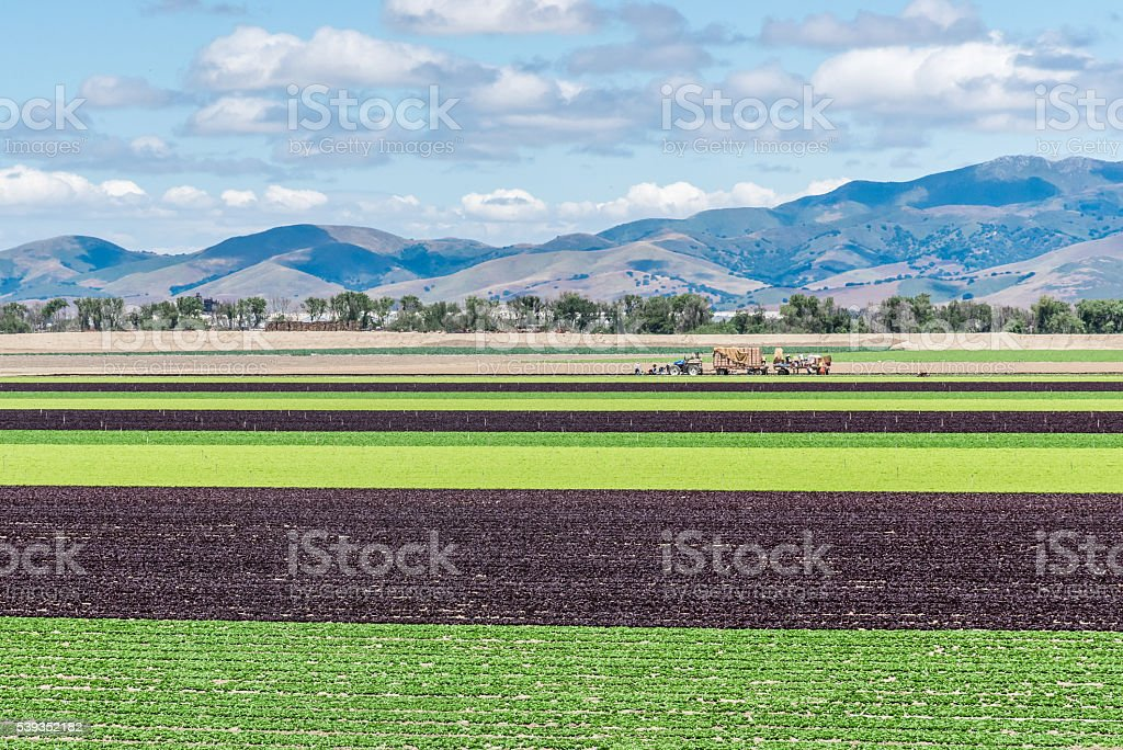 Lechuga campos de Valle de Salinas - foto de stock
