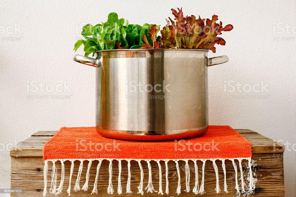 Lettuce from Northern Finland. zbiór zdjęć royalty-free