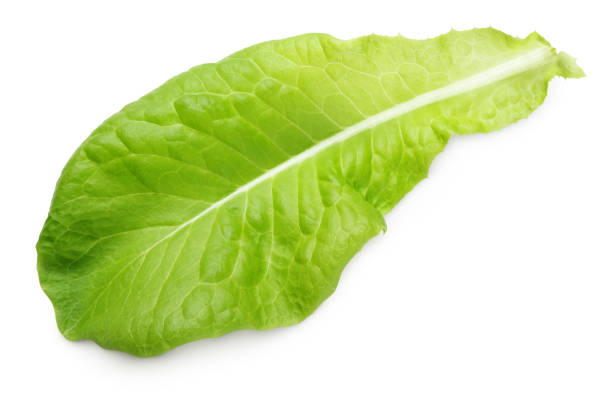 lettuce green leaf salad isolated on white - lettuce stock pictures, royalty-free photos & images