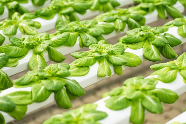 Salat in Hydrokultur Farm wächst – Foto
