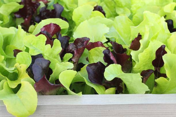 Lettuce growing on vegetable bed stock photo