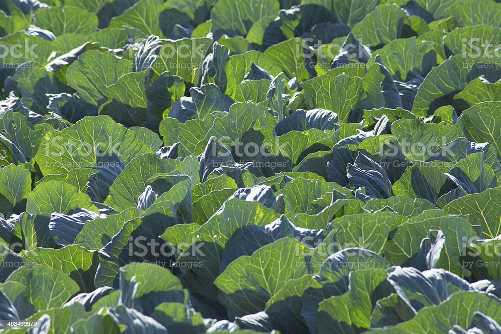 Lettuce Growing - Up Close stock photo