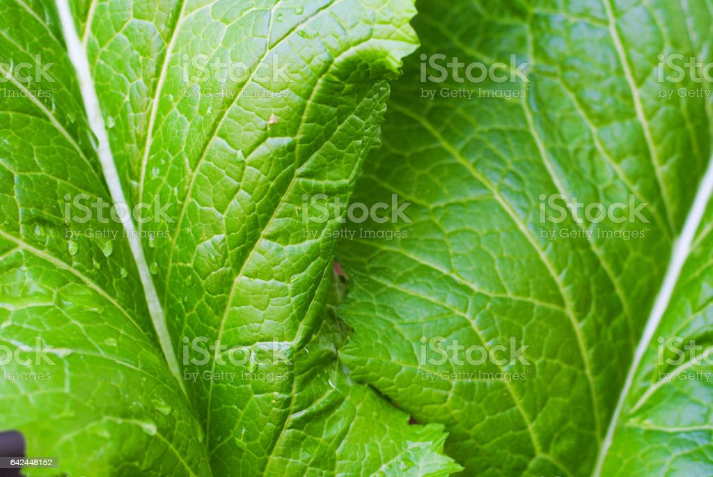 Lettuce grown in the garden stock photo