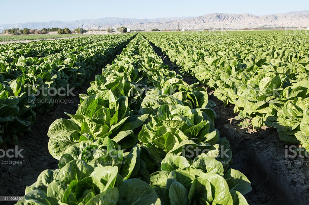 Lettuce Grows in Rows on Southern California Agricultural Farm stock photo