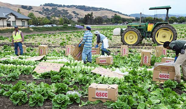 Lettuce Harvest in central California Salinas, CA - USA; July 1, 2015: Seasonal field workers cut and box romaine lettuce. migratory workers stock pictures, royalty-free photos & images