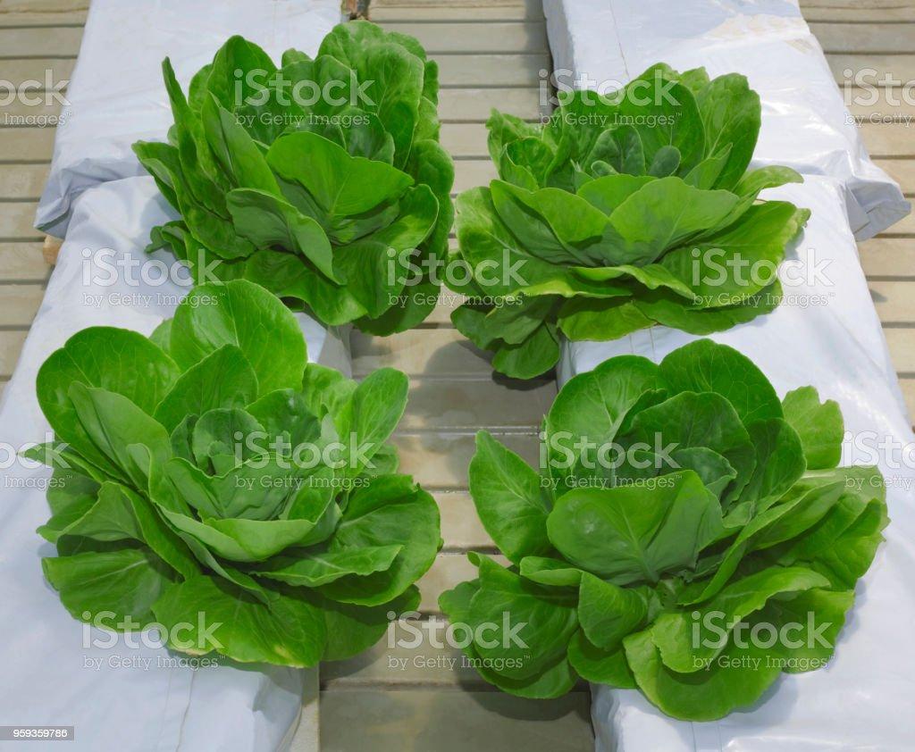 Lettuce Hydroponic Pillars stock photo