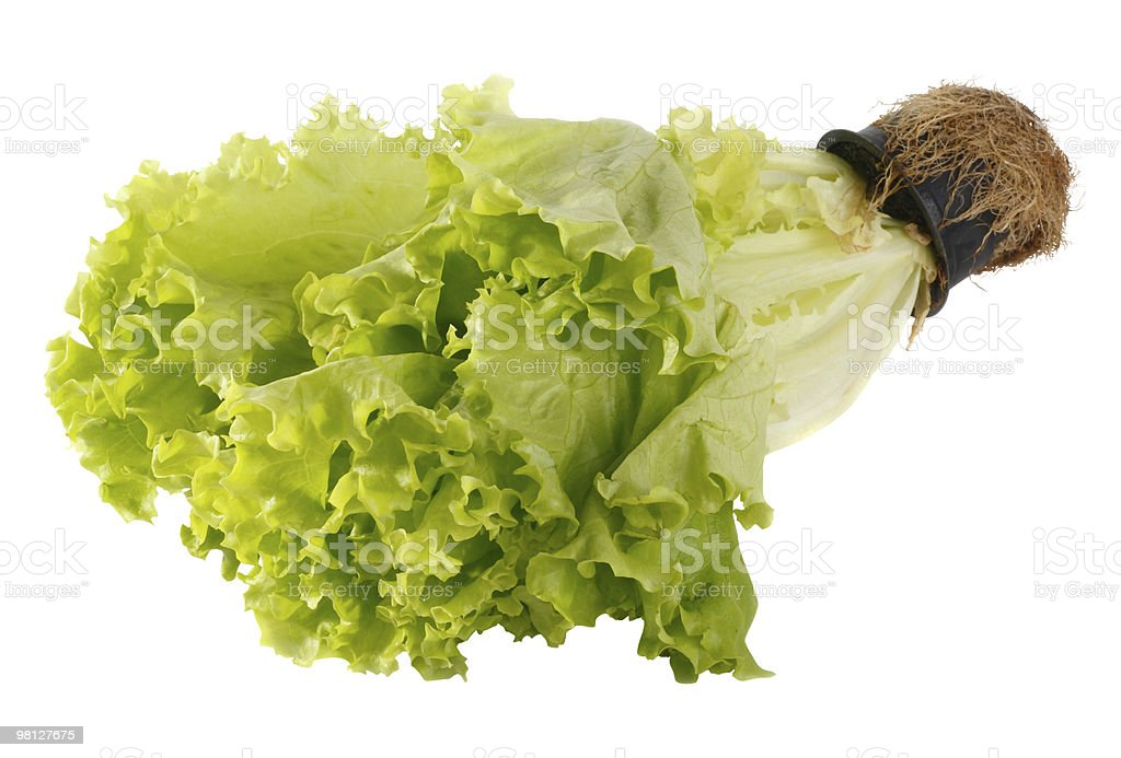 Lettuce in a pot royalty-free stock photo
